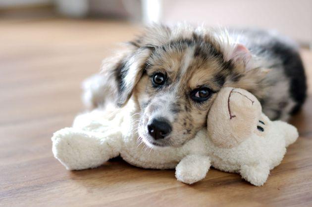 Haustiertoto Hundewelpe